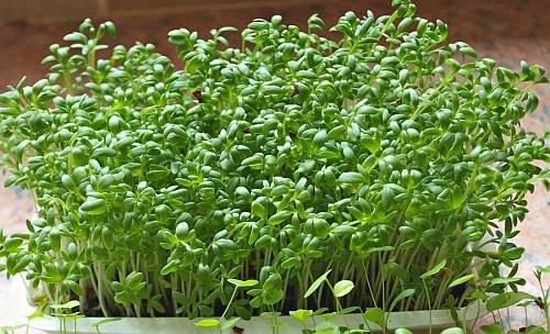 Фото биоиндикация кресс салатом